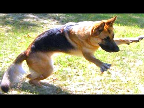 10 Funny German Shepherd Videos #2