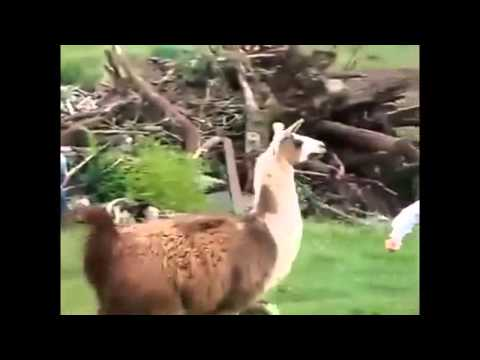 Best Funny Animals Doing Stupid Things 2014