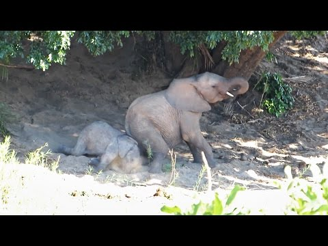 Mommy elephant teaches baby how to dust bath | Funny wild animals, play in a riverbed – Kruger Park