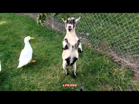 Goat Standing on Two Legs ||360Funny   — Goats, Cute, Funny, Farm Animals