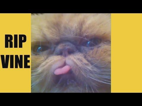 Funny Cats 2017 – Vine Compilation – BEST VINES ✔️