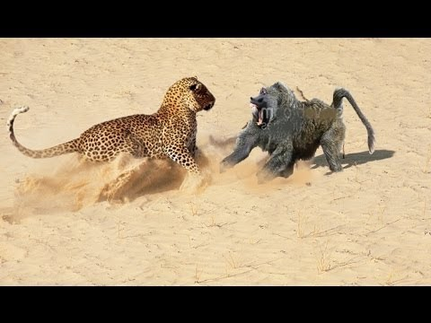 Baboon vs Leopard vs Python vs Crocodile Wild Animals Must Watch!!