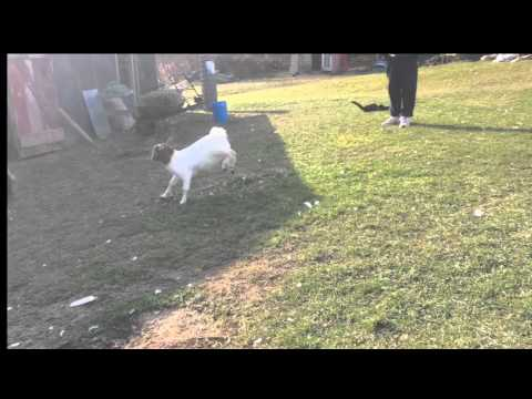 Rosie The Goat Being Funny – Farm Animals