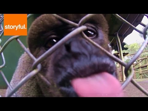 Funny Monkey Loves To Lick Video Camera (Storyful, Wild Animals)
