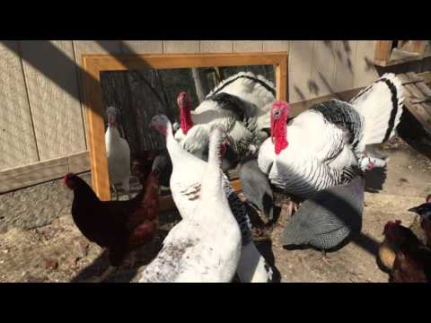 Turkeys, Chickens, Peacocks, & Guineas Play with new Mirror – Funny Farm Animals