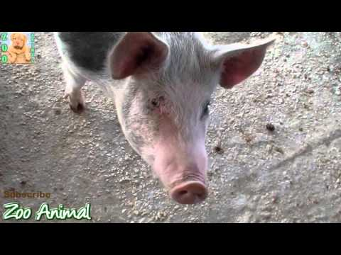 Farm Pigs Super Happy and Funny – Farm Animals videos for kids – Animais TV