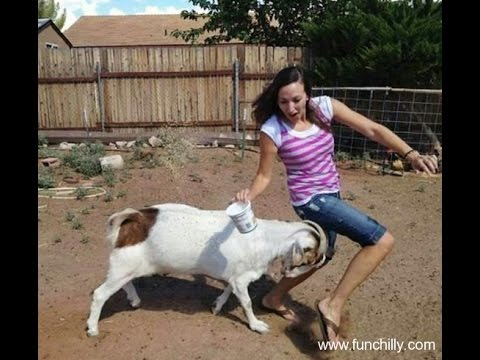 Funny animals videos : Funny Goat, Sheep, Ostrich, Attack human 2016 – Funniest Moments