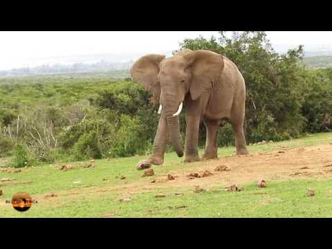 Cheeky Elephant kicks tortoise like soccer ball  Funny wild animals behaving badly in South Africa