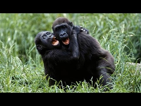 Funny Gorillas  [Fun with Animals]