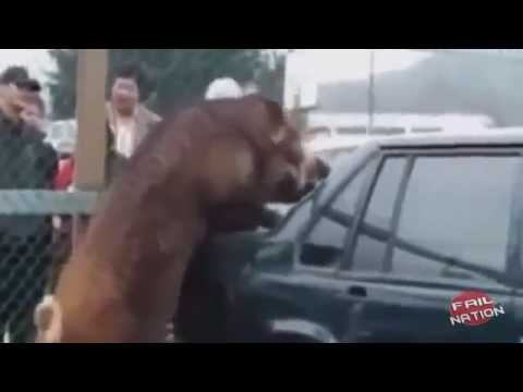 amazing … when animals attack   .. funny