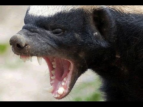 The Honey Badger Invades Mail Factory – When Funny Wild Animals Attack, Wildlife Dangerous Animals