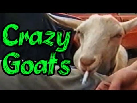 Funny Animals Videos : Funny Animals Compilation: Crazy Goats Gone Wild