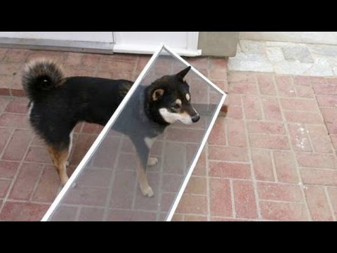 It's IMPOSSIBLE to SURVIVE THIS LAUGH CHALLENGE – Funniest DOG videos & fails