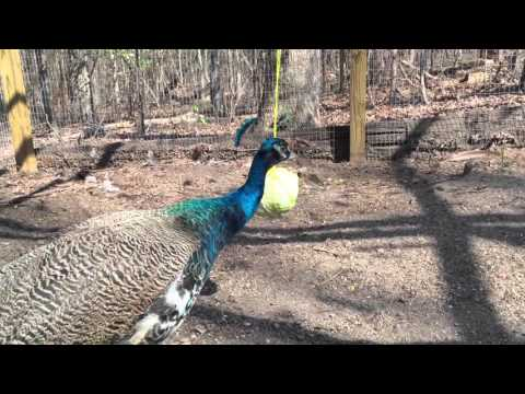 Peacocks, Chickens & Guineas play tether ball with cabbage – Funny Farm Animals