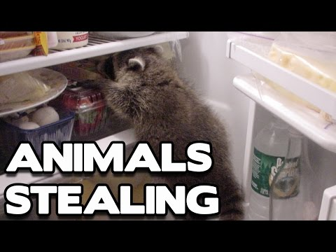 Funny Animals Stealing Compilation! (BEST FUNNY ANIMAL COMPILATION)