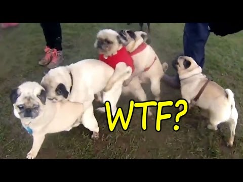 Survive This LAUGH CHALLENGE If You Can – BEST FUNNY DOG VIDEOS | BESMILE ツ