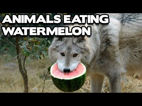 Funny Animals Eating Watermelon Compilation! (BEST FUNNY ANIMAL COMPILATION)