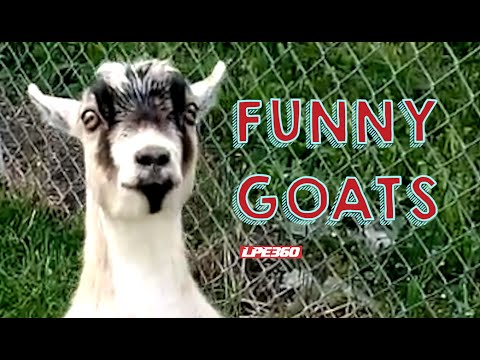 Funny Goats Compilation || 360Funny