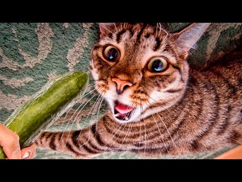 Cats scared of Cucumbers Compilation – Cats Vs Cucumbers – Funny Cats 2017