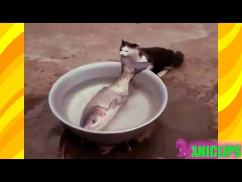 Funny Cat Vs Fish  ✯ Funny Cats Compilation