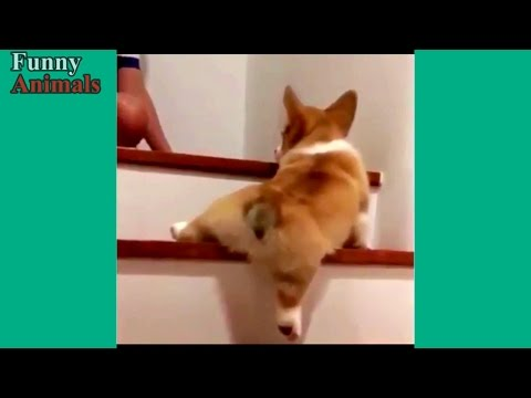 Funny Dogs Vs Stairs – Funny Dog Videos 2017