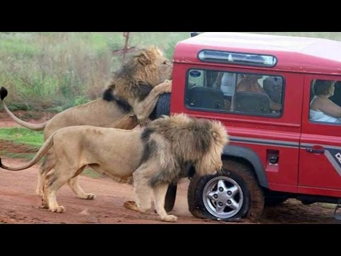 Wild Animal ATTACKING Car  | Elephant, Lion, Goat … attack car Compilation