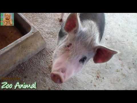 videos animais engraçados – Farm Pigs Super Happy and Funny   Farm Animals videos for kids