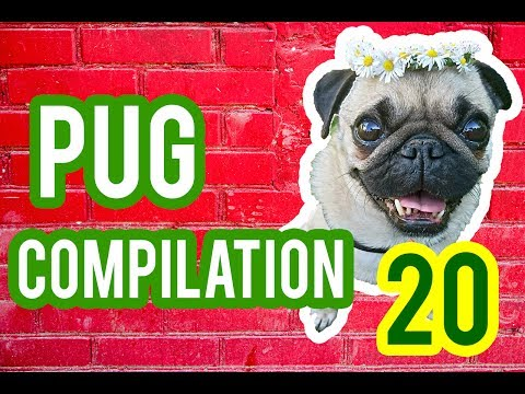 Pug Compilation 20 – Funny Dogs but only Pug Videos | Instapugs