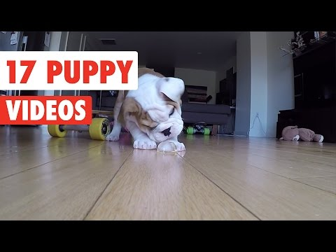 17 Funny Puppies | Funny Dog Video Compilation 2017