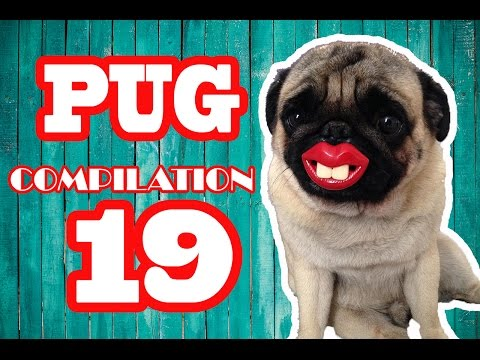 Pug Compilation 19 – Funny Dogs but only Pug Videos | Instapugs