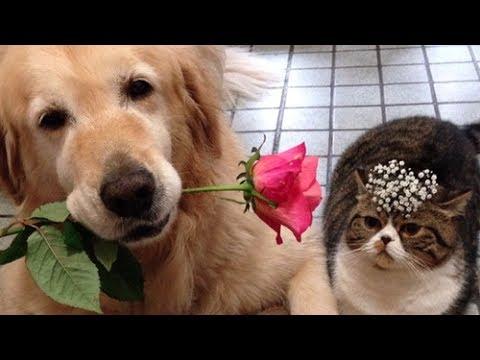 Funniest & Cutest Golden Retriever Videos #32 – Compilation 2017