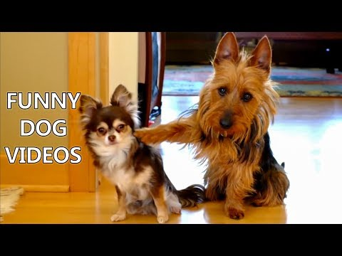 *Try Not To Laugh Challenge* Funny Dogs Compilation – Funniest Dog Videos 2017