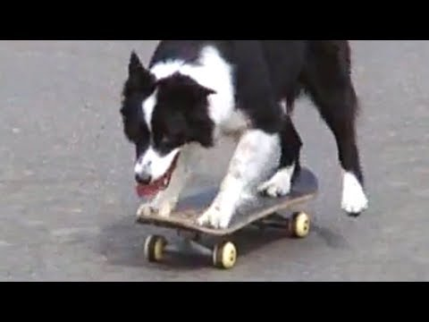 Funniest Border Collie Videos 2017 – Funny Dogs Compilation