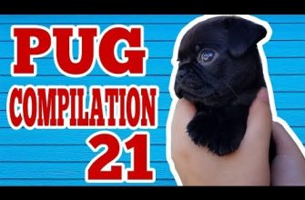 Pug Compilation 21 – Funny Dogs But Only Pug Videos | Instapugs