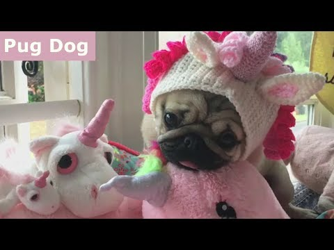 Funniest and Cutest Pug Dog Videos Compilation 2017 [BEST OF]