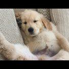 Funny & Cute Golden Retriever Videos #50 – Compilation 2017