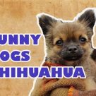 Funny Dogs Chihuahua Videos 2017 Compilation # 10 – Funny Animals