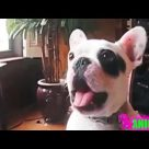Most Funny Dog Talking Videos Compilation