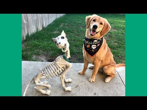 Funny Dogs Compilation 2017 – Best Funny Golden Retriever Videos Ever