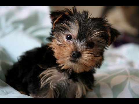 Cutest Yorkies Puppies  – A Funny Dogs Videos Compilation 2017