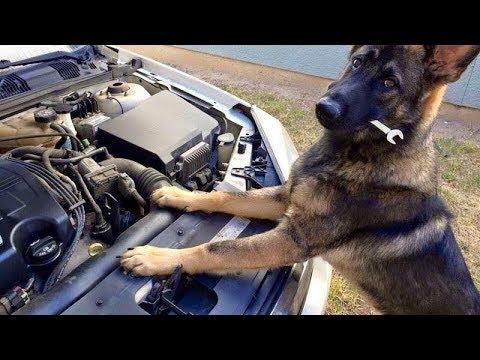 Funniest & Cutest German Shepherd Videos #20 – Compilation 2017