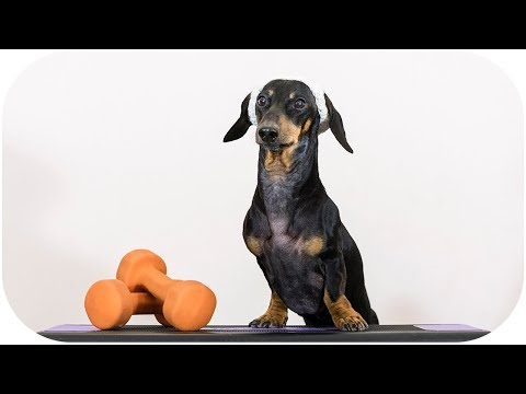 Dachshund dog as fitness trainer – funny pet animal video