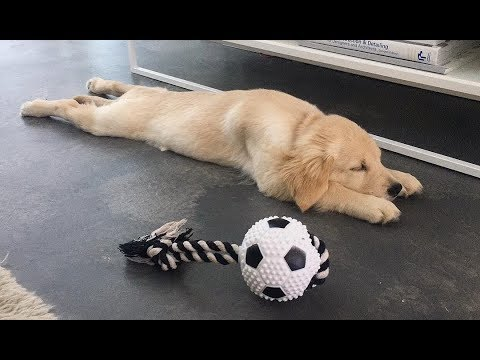 Funny & Cute Golden Retriever Videos #126 – Compilation 2017