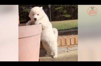 Funniest & Cutest Husky puppies Videos #13 🐶 Siberian Husky Dog Compilation 2018