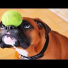 10 Funniest Boxer Videos #3 | Funny Dogs Compilation