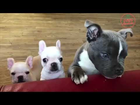 Funniest & Cutest French Bulldog puppies Videos Compilation 2018 | Funny DOG vines compilation #341