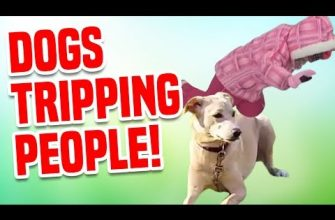 Dogs Tripping People! | Funniest Dog Videos