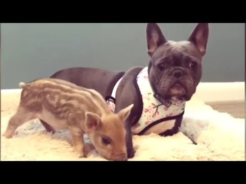 Funniest & Cutest French Bulldog Videos | Funny DOG Compilation #434