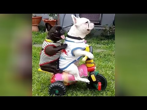 The FUNNIEST DOGS! If you DON'T LAUGH, then YOU'RE A ROBOT! – Funny DOG VIDEOS