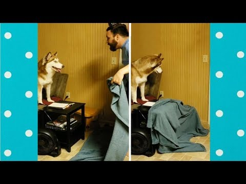 Funny Dogs Reaction To Owners Disappearing Behind Blanket   Funny Pets